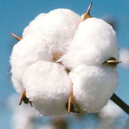Bild für Kategorie Baumwolle